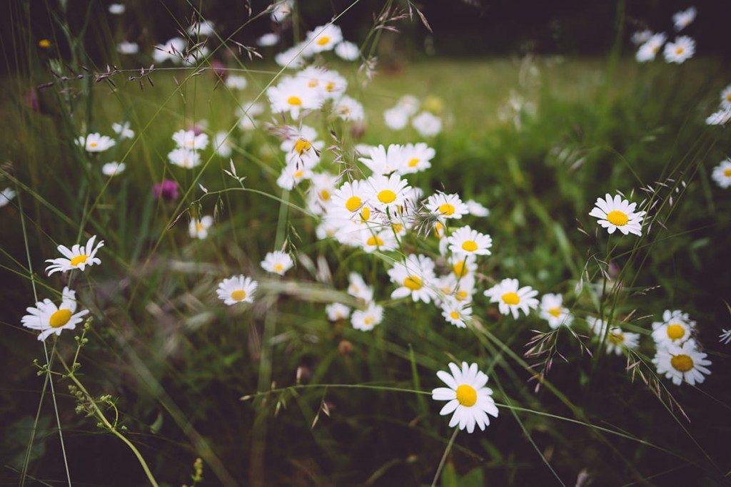 Die Überlieferung besagt, Pflanzen hätten in der Mittsommer-Zeit besonders heilende Kräfte.