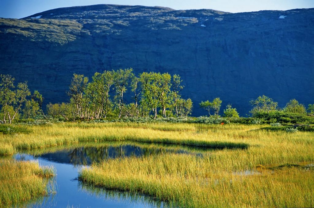 Die Moltebeere wächst in Norwegen überwiegend in Moor- und sumpfigen Waldgebieten.