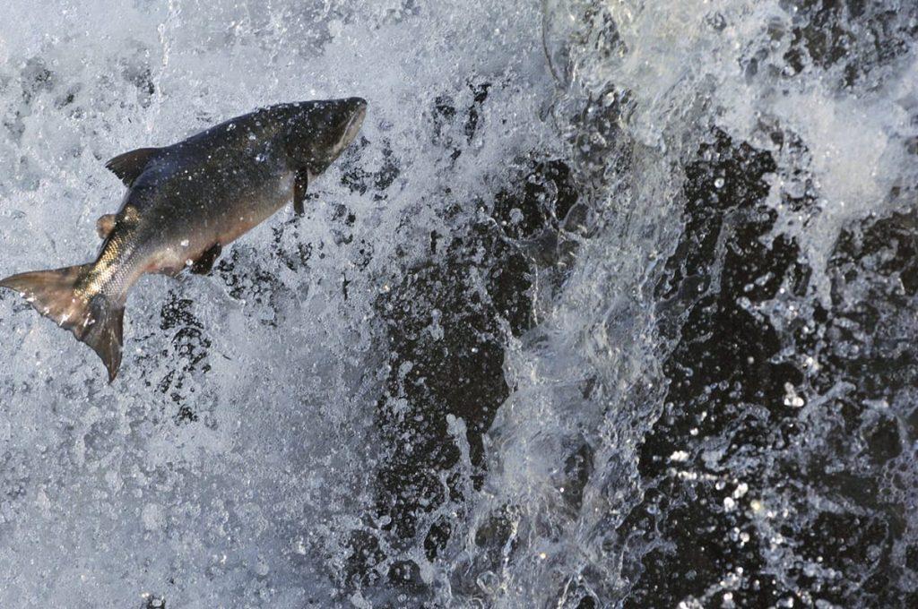 Ab Juni steigen die Lachse die Flüsse hinauf und passionierte Angler fahren zum Angeln in Norwegen.