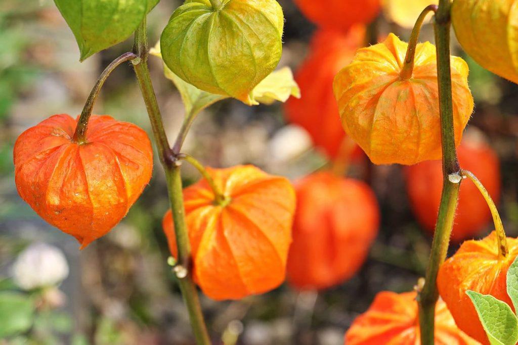 Lampionblumen, auch Physalis genannt, sind die Alleskönner unter der Halloween-Deko.