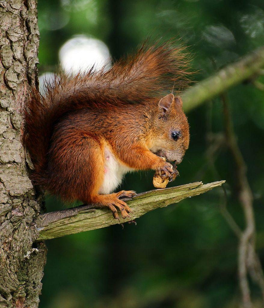 Oftmals gibt es bei einem Herbstspaziergang Eichhörnchen zu sehen, die ihre Wintervorräte sammeln und verstecken.