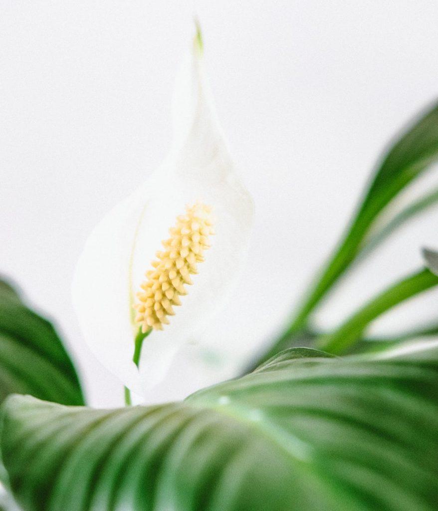 Mit Friedenslilien verbessert ihr in eurem Smart Home die Raumluft, denn sie filtern Schadstoffe durch ihre Blätter und Wurzeln.